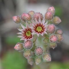 fleur d'échéveria