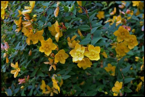 Hypericum hookerianum 'Hidcote' (= Patulum 'Hidcote') 27996918841_f4377165db