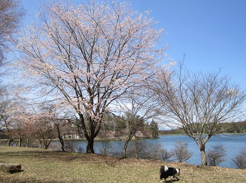 蓼科湖の桜とランディ 2013年5月7日10:28 by Poran111