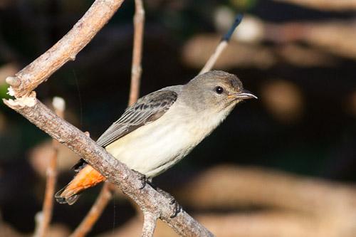 juvenile Mistletoebird