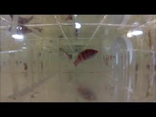 005 Yellowfin Fairy Wrasse