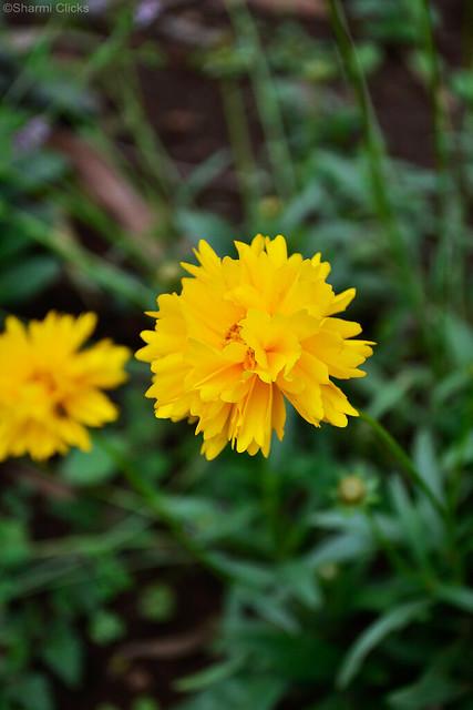 YellowFlower24