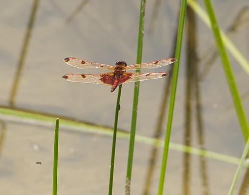 flickr insects va williamsburgarea dragonfliesanisoptera skimmerslibellulidae meadowhawkssympetrum