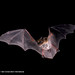 Fringed Myotis Bats have known maternity colonies on OSMP.
