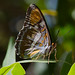Small photo of California Sister (Adelpha bredowii)