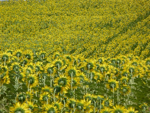 Campo de girasoles en el Gers (Gascuña, Francia)