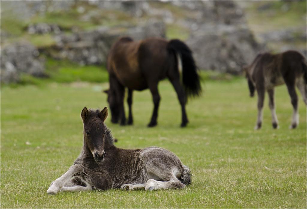 Icelandic horses 8