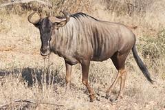 antelope(0.0), kudu(0.0), animal(1.0), wildebeest(1.0), mammal(1.0), horn(1.0), fauna(1.0), savanna(1.0), safari(1.0), wildlife(1.0),