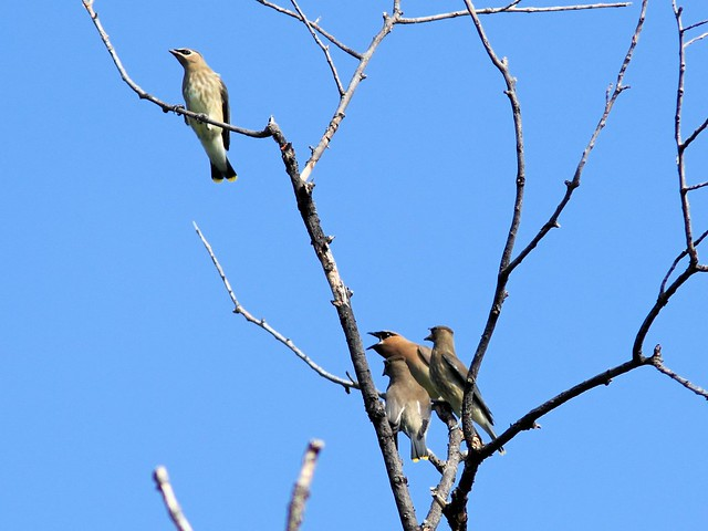Cedar Waxwing feeding young 3-20130830