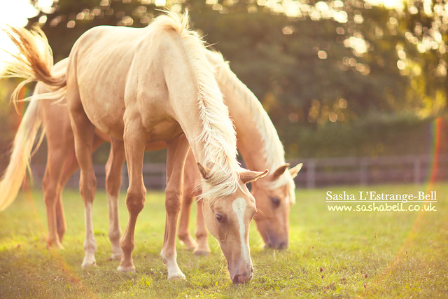 Two Palomino Horses - Day 342/365