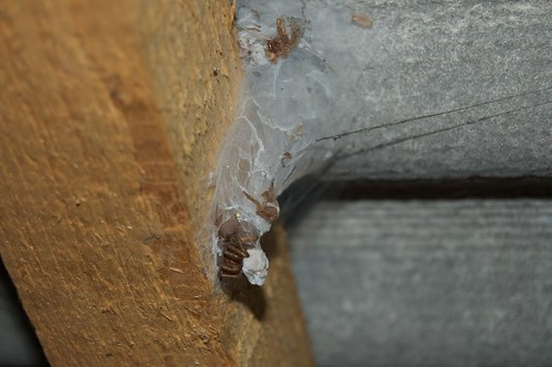 Tegenaria duellica web in the roof of a shed