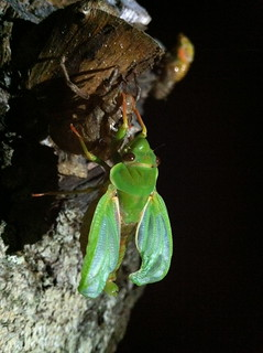 Cicada with wings almost fully unfurled