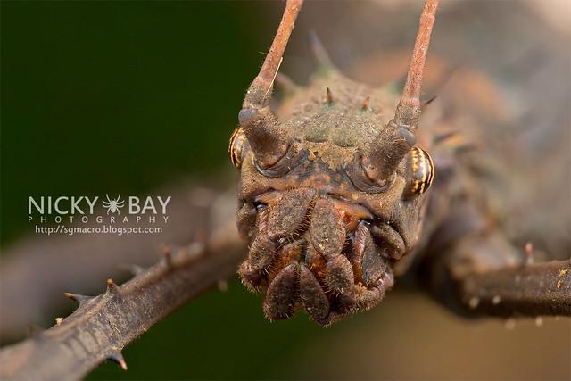 Stick Insect (Haaniella sp.) - DSC_6713