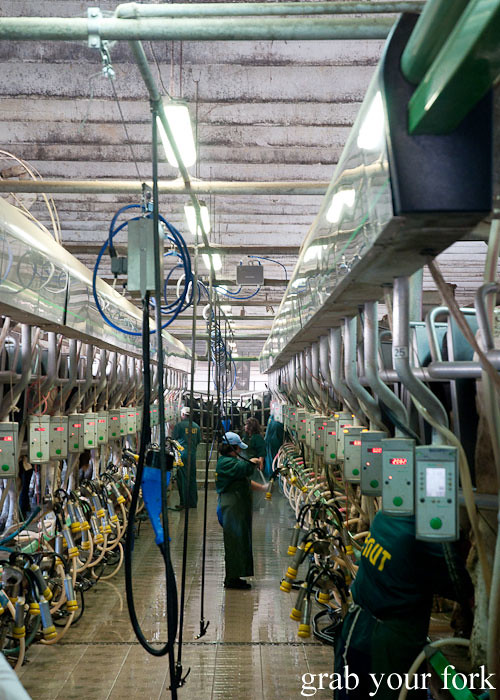 milking shed at dairy farm, Popovitsa, Bulgaria