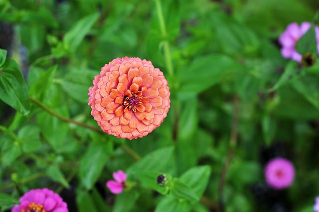 autumn zinnias