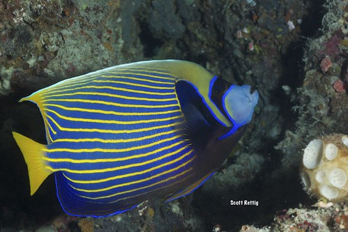 Emperor Angelfish Pomacanthus imperator)
