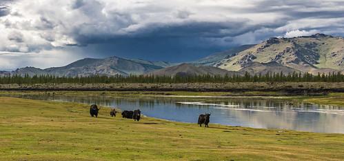 river cow mongolia arkhangai chuluut sarlag goznaraw