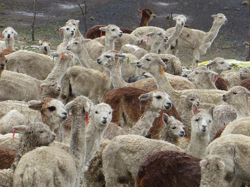 Soggy Alpacas