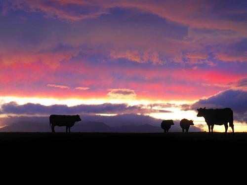 Gloaming Bullocks by g crawford