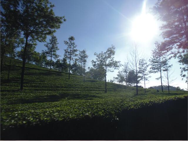tea gardens in Munnar, Kerala