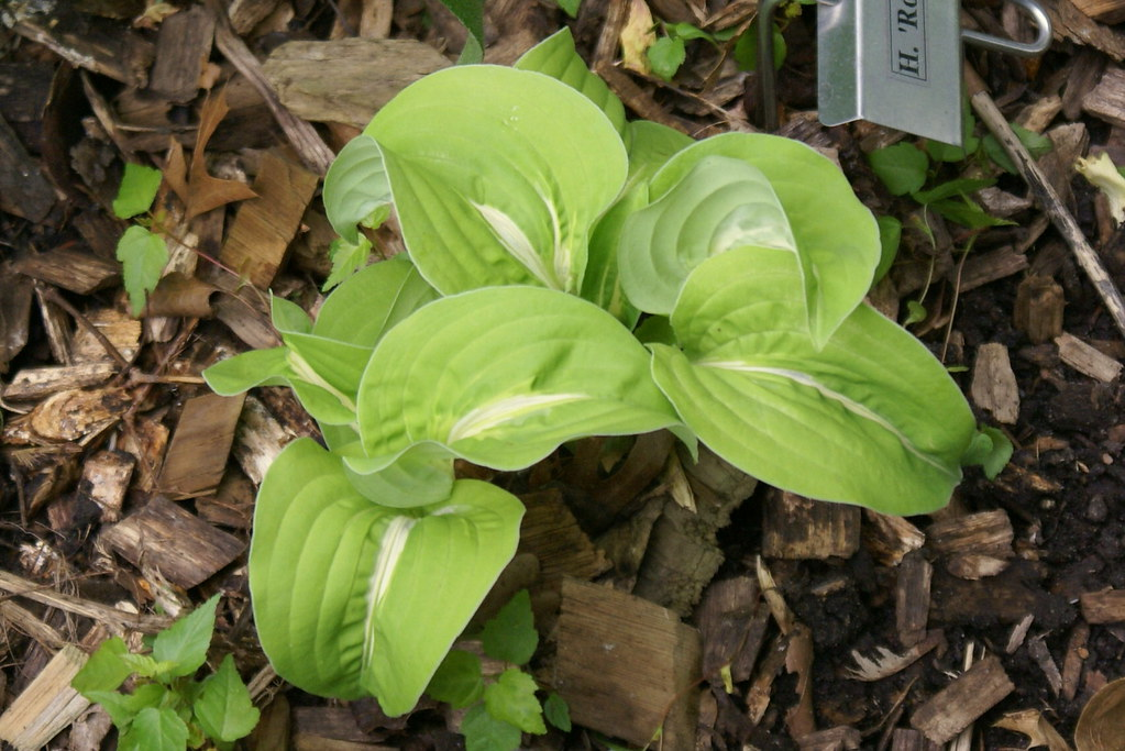 Hosta 'Royal Tiara' (10)-002