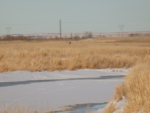 spring lake park rough-legged hawk