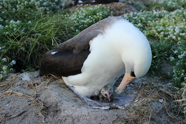 Wisdom and her just hatched chick on Midway Atoll NWR. Photo credit: Ann Bell/USFWS