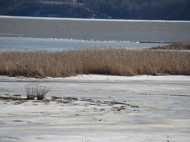 Tundra Swans and the icy marsh