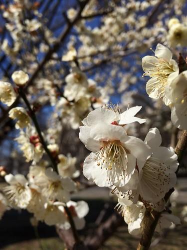 iPhone5sで撮影 olloclipで梅を撮る 2014年3月7日