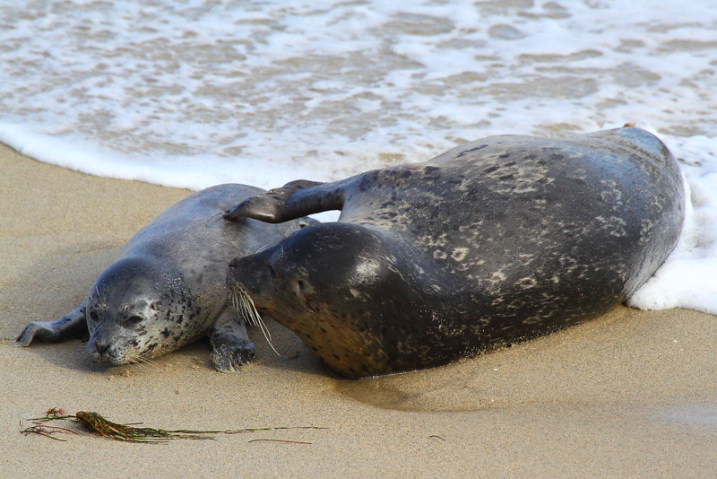 IMG_0905 Harbor Seal