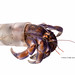 Adaptation - Blueberry hermit crab (Coenobita purpureus ) Okinawa,Japan