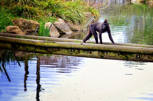 Monkey Crossing - Dublin Zoo