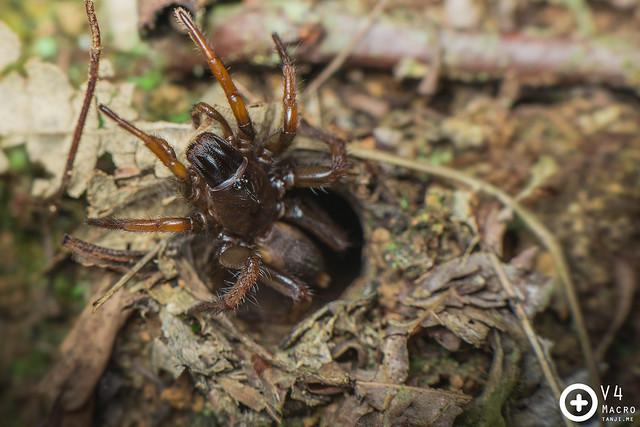 Damarchus (?) Tube Trapdoor spider