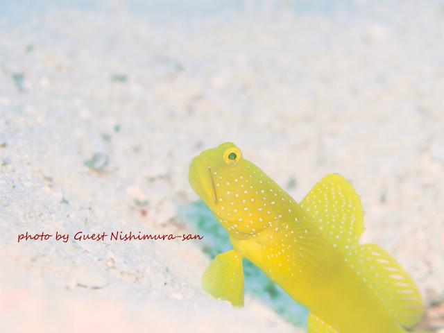 黄色いギンガハゼ