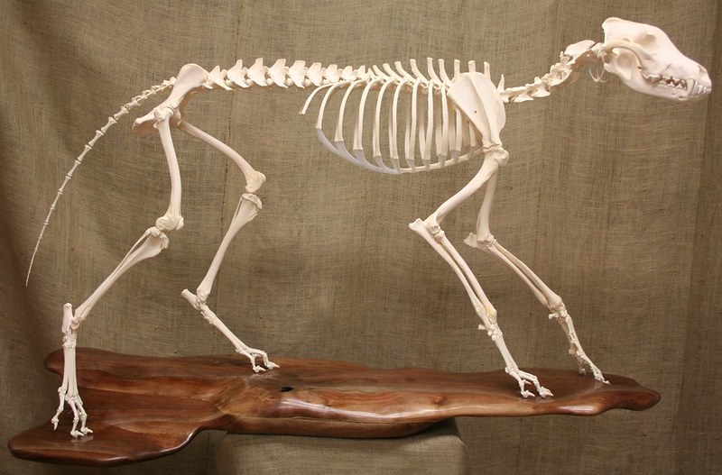 timber_wolf_skeleton_by_mad_taxidermist-d4nmixw