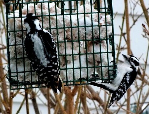hairy woodpecker & a downy woodpecker