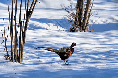 PA: Ring-necked Pheasant From Afar