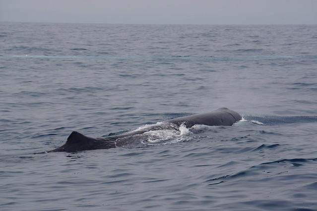 Sperm whale off Kaikoura