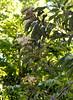 Stenocarpus cryptocarpus DSC_0433 (5)