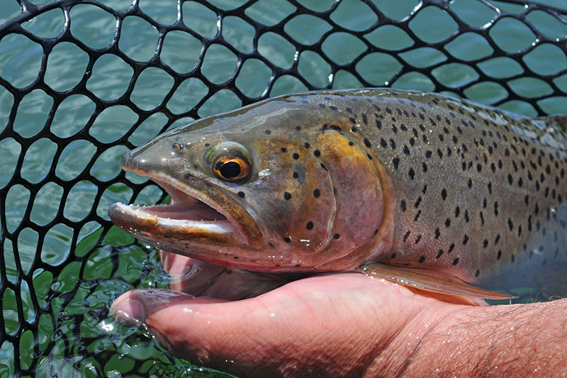 Cutthroat Trout caught on a Flyfishing Lure, Vancouver Island, British Columbia, Canada.