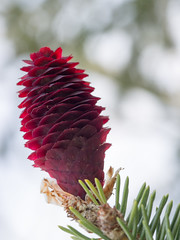Purple Cone Spruce (Picea purpurea)