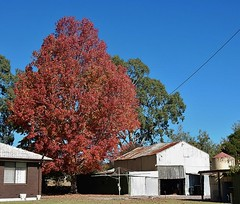 Red Tree; White Shed