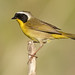 Common Yellowthroat warbler (male)