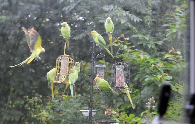 Just a few Parakeets on My Feeders  (5) Taken through the Caravan window