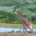 Girafe assoiffée by www.sophiethibault.ca