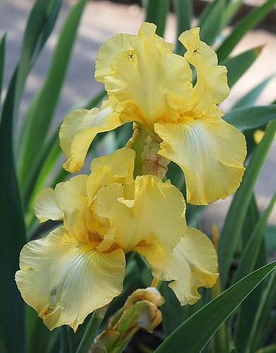 Iris - floraisons 2011 - Page 3 8735086203_116758b4af