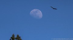 Moon, Pine trees, Vulture