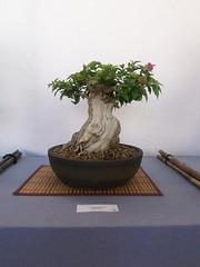 plant(1.0), sageretia theezans(1.0), houseplant(1.0), bonsai(1.0),