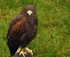 W5_Golden Eagle
