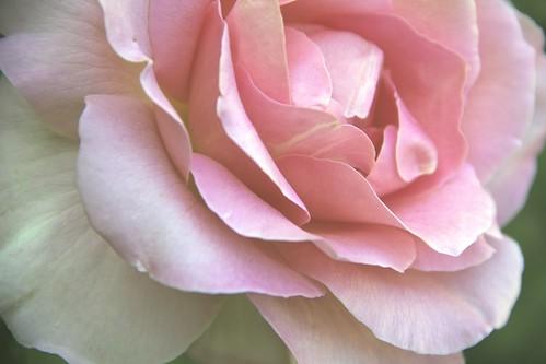 Long Stem Rose 3